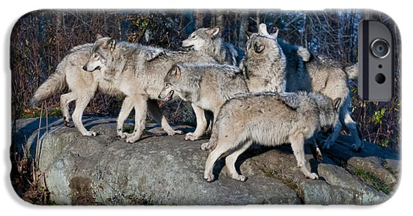 Loup Photos iPhone Cases - Timber Wolf Pack iPhone Case by Wolves Only