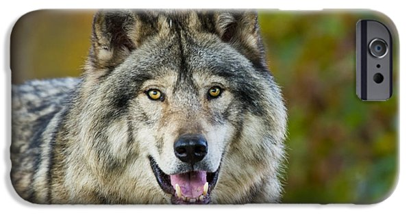 Loup Photos iPhone Cases - Timber Wolf Pictures 1388 iPhone Case by World Wildlife Photography