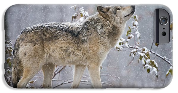 Loup Photos iPhone Cases - Timber Wolf Pictures 188 iPhone Case by Wolves Only