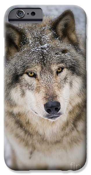 Loup Photos iPhone Cases - Timber Wolf Pictures 254 iPhone Case by Wolves Only