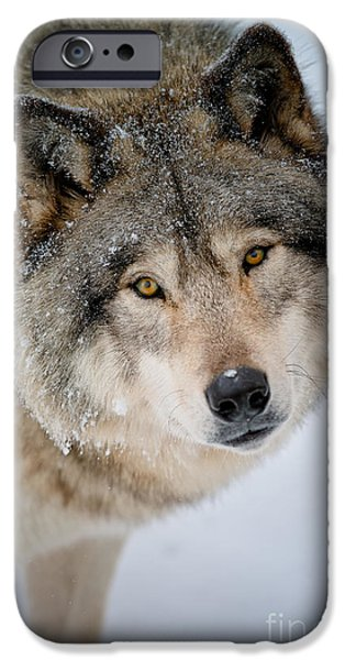 Loup Photos iPhone Cases - Timber Wolf Pictures 255 iPhone Case by Wolves Only