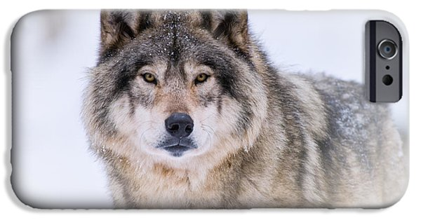 Wolf Picture Art iPhone Cases - Timber Wolf Pictures 256 iPhone Case by Wolves Only