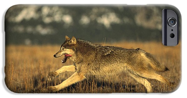 Wolf Image iPhone Cases - Timber Wolf  Running iPhone Case by Konrad Wothe
