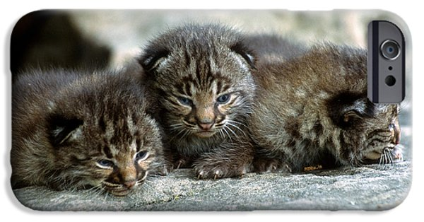 Bobcat Kittens iPhone Cases - Tiny Bobcat Kittens iPhone Case by Larry Allan