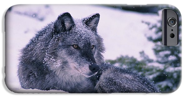 Wolf Image iPhone Cases - T.kitchin, 19552c Gray Wolf, Winter iPhone Case by First Light