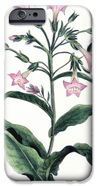 Agriculture Drawings iPhone Cases - Tobacco Nicotiana Tabacum iPhone Case by Anonymous