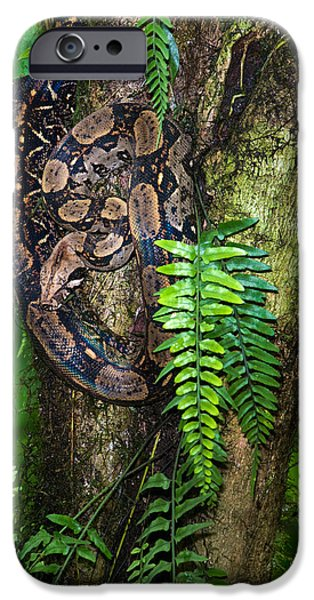 Boa Constrictor iPhone Cases - Tree Boa On A Tree, Sarapiqui, Costa iPhone Case by Panoramic Images