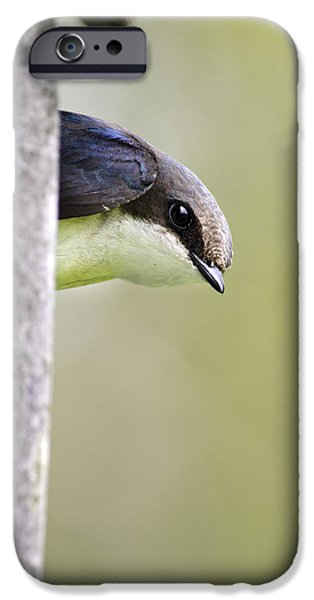 Swallow iPhone Cases - Tree Swallow Closeup iPhone Case by Christina Rollo
