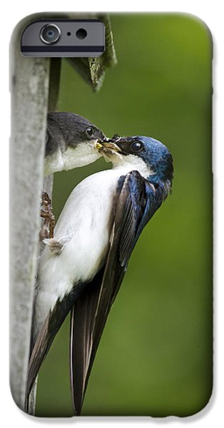 Swallow Chicks iPhone Cases - Tree Swallow Feeding Chick iPhone Case by Christina Rollo