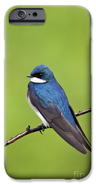 Indiana Springs iPhone Cases - Tree Swallow II - D009009 iPhone Case by Daniel Dempster