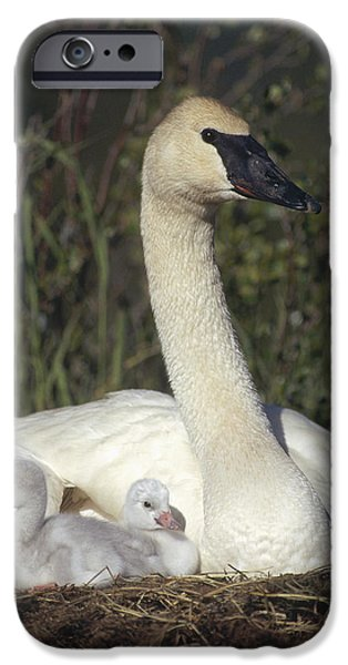 Trumpeter Swan On Nest With Chicks iPhone Case by Michael Quinton
