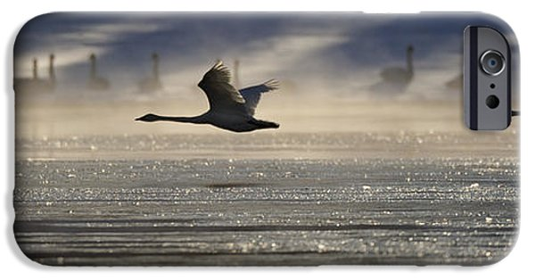 Swans... iPhone Cases - Trumpeter Swan Silhouetted In Flight iPhone Case by Peter Mather