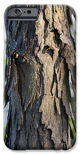 Arkansas iPhone Cases - Trunk Of Shagbark Hickory iPhone Case by Greg Dimijian