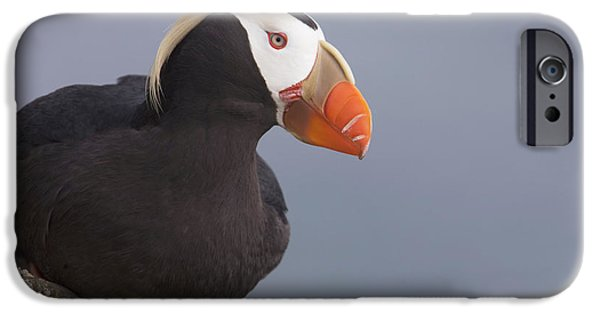 Ledge iPhone Cases - Tufted Puffin Perched On Rock Ledge iPhone Case by Milo Burcham