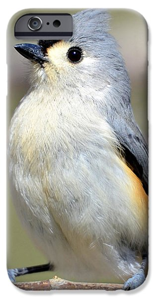 Tufted Titmouse iPhone Case by Susan Leggett