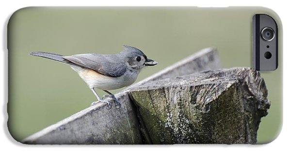 Tufted Titmouse iPhone Cases - Tufted Titmouse with Seed iPhone Case by Heather Applegate