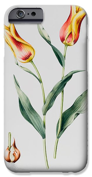 Bulb iPhone Cases - Tulip Mona Lisa iPhone Case by Sally Crosthwaite