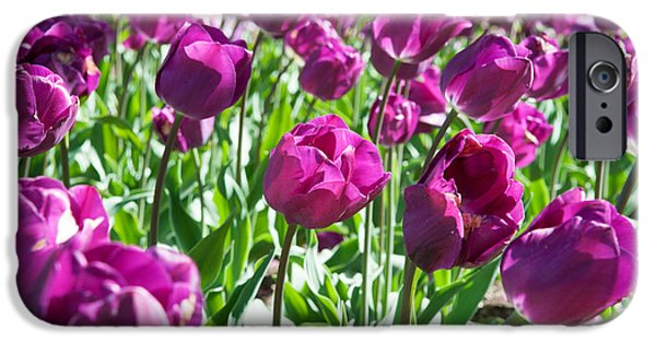Garden Scene iPhone Cases - Tulips At Sherwood Gardens, Baltimore iPhone Case by Panoramic Images
