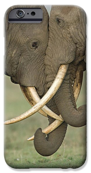 Loxodonta iPhone Cases - Two African Elephants Fighting iPhone Case by Panoramic Images