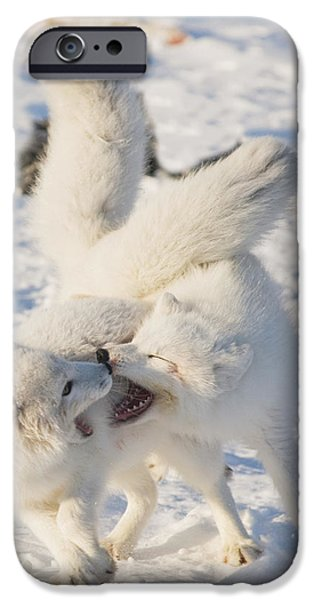 Wrestle iPhone Cases - Two Arctic Fox Adults Play With One iPhone Case by Steven Kazlowski