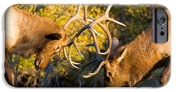 The Lightning Man iPhone Cases - Two Elk Bulls Sparring iPhone Case by James BO  Insogna