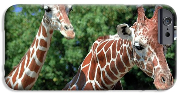 Struckle iPhone Cases - Two Giraffes iPhone Case by Kathleen Struckle