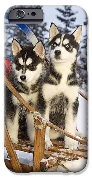 Husky iPhone Cases - Two Siberian Husky Puppies Sitting In iPhone Case by Jeff Schultz