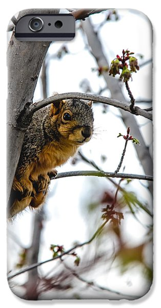 Fox Squirrel iPhone Cases - Up the Tree iPhone Case by Robert Bales