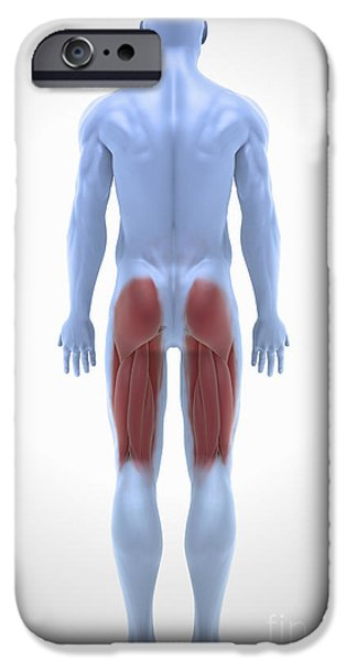 Model iPhone Cases - Upper Leg Muscles iPhone Case by Science Picture Co
