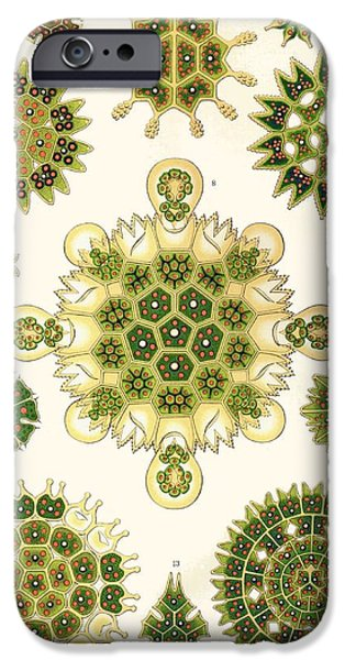 Nature Study Drawings iPhone Cases - Varities of Pediastrum from Kunstformen der Natur iPhone Case by Ernst Haeckel