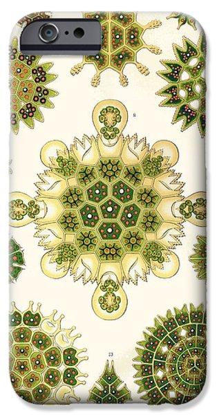 Varities of Pediastrum from Kunstformen der Natur iPhone Case by Ernst Haeckel