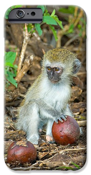 Tarangire iPhone Cases - Vervet Monkey Holding A Seed Pod iPhone Case by Panoramic Images