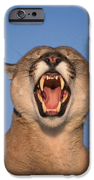 V.hurst Tk21663d, Mountain Lion Growling iPhone Case by Victoria Hurst