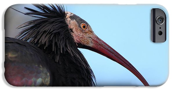 Ibis iPhone Cases - Waldrapp Ibis 5D27031 iPhone Case by Wingsdomain Art and Photography
