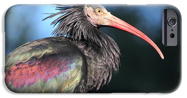 Ibis iPhone Cases - Waldrapp Ibis 5D27049 iPhone Case by Wingsdomain Art and Photography