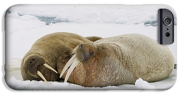 Norway iPhone Cases - Walrus Male And Female On Ice Floe iPhone Case by Konrad Wothe
