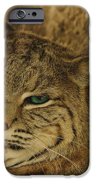 Wary Bobcat iPhone Case by Penny Lisowski
