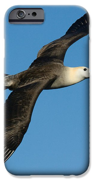 Albatross iPhone Cases - Waved Albatross Diomedea Irrorata iPhone Case by Panoramic Images