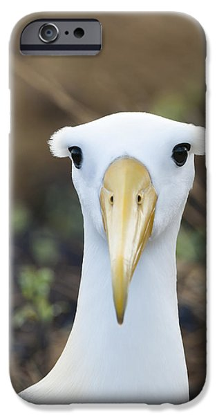 Albatross iPhone Cases - Waved Albatross Espanola Isl Galapagos iPhone Case by Tui De Roy