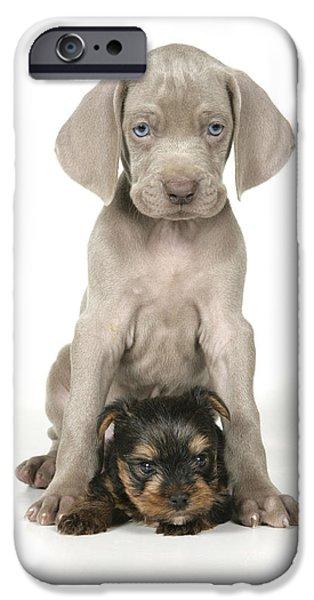 Weimaraner Puppy iPhone Cases - Weimaraner And Yorkie Puppies iPhone Case by John Daniels