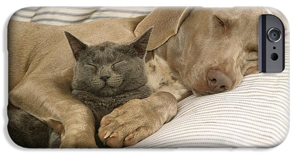 Weimaraners iPhone Cases - Weimaraner Asleep With Cat iPhone Case by John Daniels