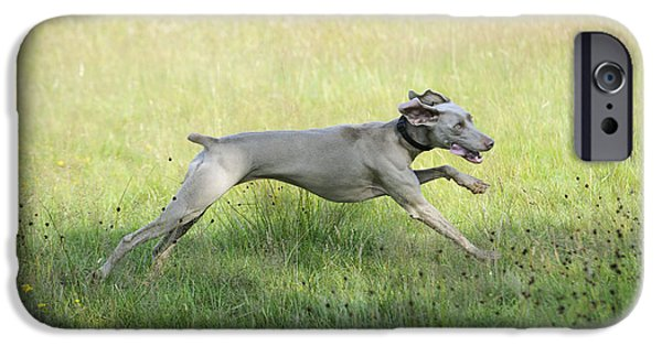 Weimaraners iPhone Cases - Weimaraner Dog Running iPhone Case by John Daniels
