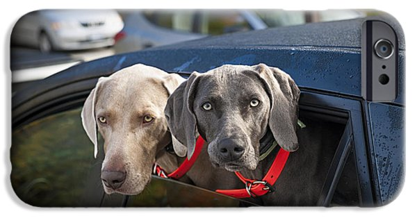 Weimaraners iPhone Cases - Weimaraner dogs in car iPhone Case by Elena Elisseeva