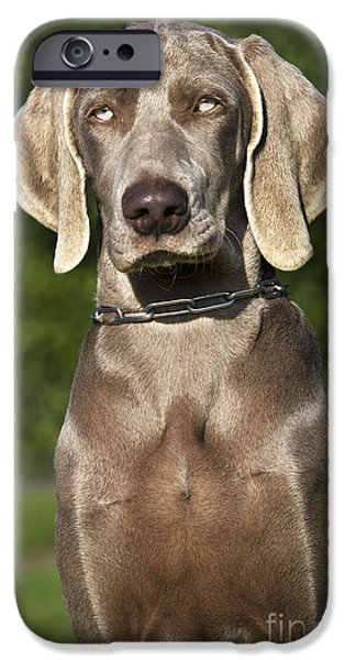 Weimaraners iPhone Cases - Weimaraner Hunting Dog iPhone Case by Johan De Meester