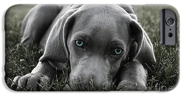 Dogs iPhone Cases - Weimaraner  iPhone Case by Marvin Blaine