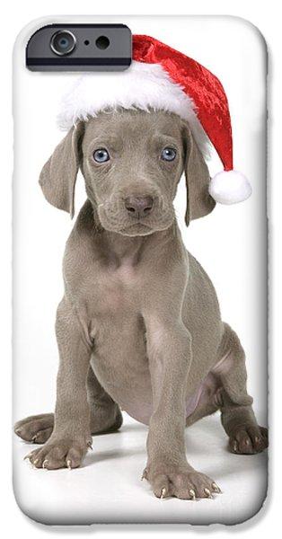 Weimaraner Puppy iPhone Cases - Weimaraner With Christmas Hat iPhone Case by John Daniels