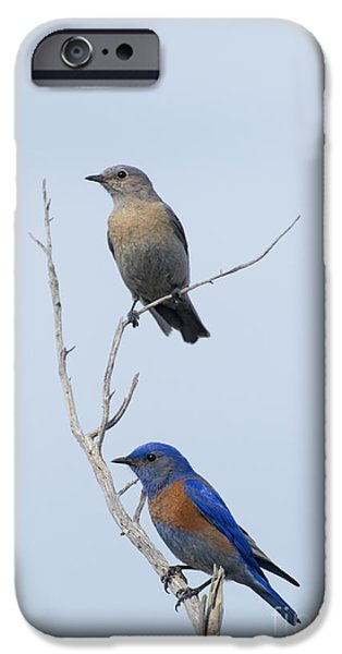 Bluebird iPhone Cases - Western Bluebird Pair iPhone Case by Mike  Dawson