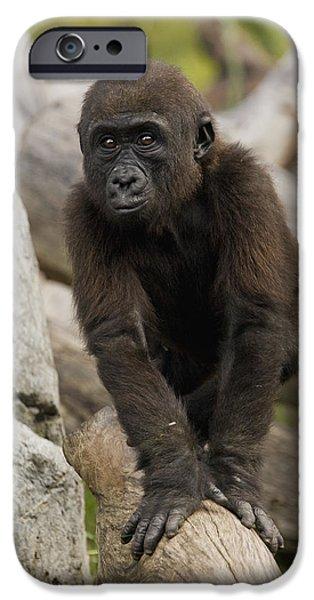 Gorilla iPhone Cases - Western Lowland Gorilla Baby iPhone Case by San Diego Zoo