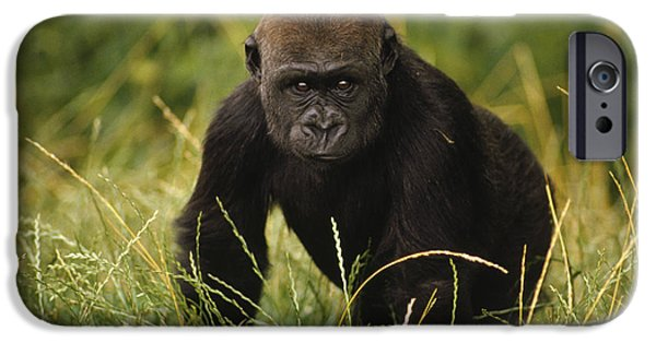 Gorilla iPhone Cases - Western Lowland Gorilla Juvenile iPhone Case by Gerry Ellis