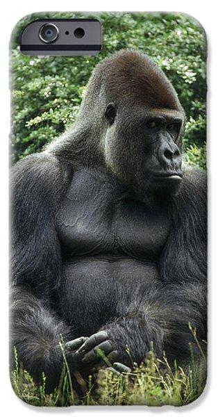 Gorilla iPhone Cases - Western Lowland Gorilla Male iPhone Case by Konrad Wothe